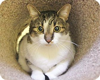 Domestic Shorthair Cat for adoption in Benbrook, Texas - Lilly