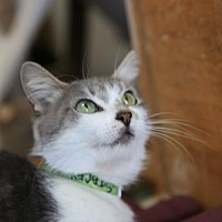 Domestic Shorthair Cat for adoption in Columbus, Ohio - Stacey