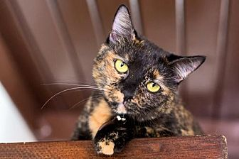 American Shorthair Cat for adoption in Santa Monica, California - Lizzie