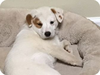 Golden Retriever/Australian Cattle Dog Mix Puppy for adoption in Media, Pennsylvania - Patches