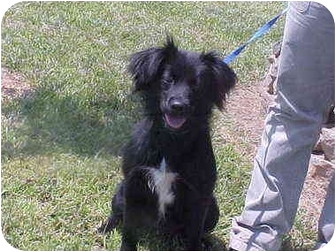 Spitz (Unknown Type, Small) Mix Dog for adoption in Burnsville, North Carolina - Glenda