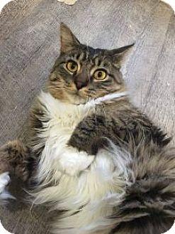 Domestic Mediumhair Cat for adoption in Wasilla, Alaska - Tomcat