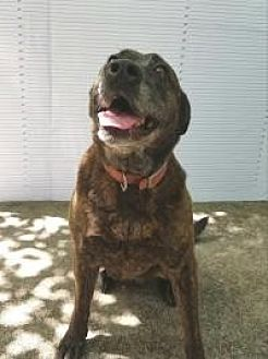 American Staffordshire Terrier/Labrador Retriever Mix Dog for adoption in Winnsboro, South Carolina - Lady