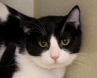 Domestic Shorthair Cat for adoption in Santa Paula, California - Domino