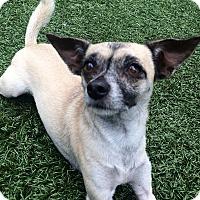 Adopt A Pet :: Bella - Chula Vista, CA