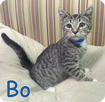 Domestic Shorthair Kitten for adoption in Georgetown, South Carolina - Bo