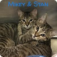 Domestic Shorthair Kitten for adoption in Newport, North Carolina - Mikey, Luke & Stan