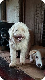 Poodle (Miniature)/Maltese Mix Dog for adoption in Oakton, Virginia - Pana