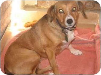 Beagle/Rat Terrier Mix Dog for adoption in Port Hope, Ontario - Princess Amberella