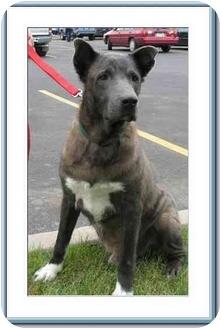Akita Mix Dog for adoption in Denver, Colorado - DeNiro