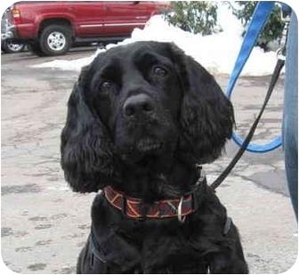 Cocker Spaniel Dog for adoption in Skillman, New Jersey - Magic