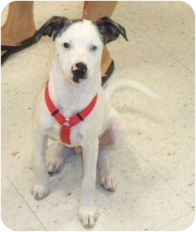 Chihuahua/Rat Terrier Mix Puppy for adoption in Newburgh, Indiana - Frankie