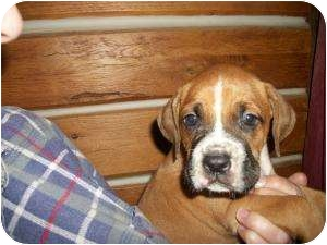 Boxer Mix Puppy for adoption in Lonedell, Missouri - Proxy-A