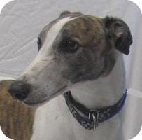 Greyhound Dog for adoption in Swanzey, New Hampshire - Kurt