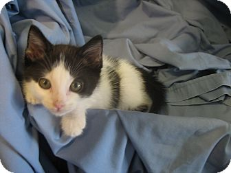 Domestic Shorthair Kitten for adoption in League City, Texas - STORM - Adopted!!