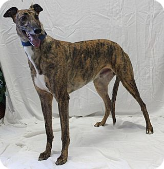 Greyhound Mix Dog for adoption in Swanzey, New Hampshire - Nigel