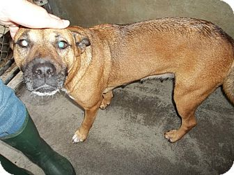 Boxer Mix Dog for adoption in Henderson, North Carolina - Muffin