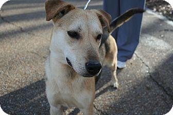 German Shepherd Dog Mix Puppy for adoption in Groton, Massachusetts - Rascal