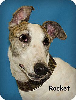Greyhound Dog for adoption in Seattle, Washington - Rocket