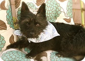 Cairn Terrier Mix Dog for adoption in Mission Viejo, California - MAXWELL