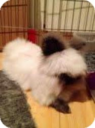 Lionhead Mix for adoption in Surrey, British Columbia - Tribble