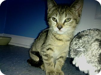 Domestic Shorthair Kitten for adoption in Warren, Michigan - Tweak