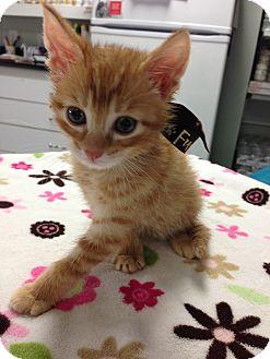 Domestic Shorthair Kitten for adoption in Davis, California - Purrcey