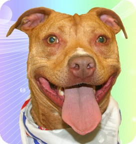 Pit Bull Terrier Mix Dog for adoption in Cincinnati, Ohio - Magnum
