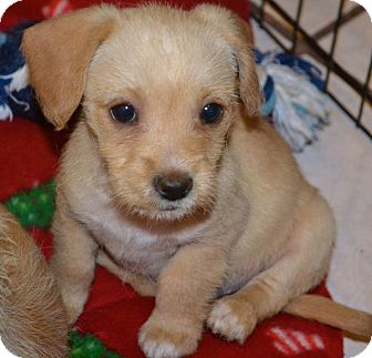 Dachshund/Chihuahua Mix Puppy for adoption in San Diego, California - Makky