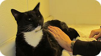 Domestic Shorthair Cat for adoption in North Kingstown, Rhode Island - Simon