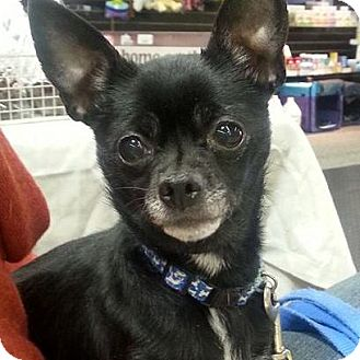 Chihuahua Dog for adoption in Romeoville, Illinois - Mimi