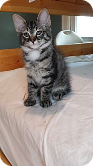Maine Coon Kitten for adoption in Cleveland, Ohio - Priscella