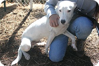 Border Collie/Dalmatian Mix Puppy for adoption in Grass Valley, California - Lundy