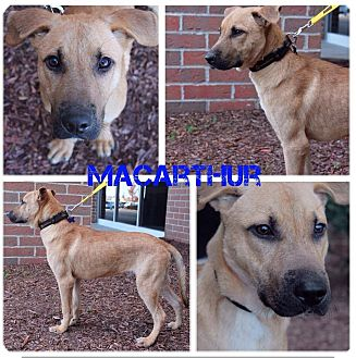 Great Dane/German Shepherd Dog Mix Dog for adoption in Garden City, Michigan - MacArthur