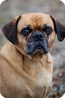 Pug Dog for adoption in Brattleboro, Vermont - Mugsy
