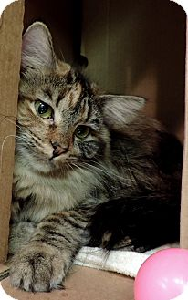Domestic Shorthair Kitten for adoption in Sioux City, Iowa - PUMPKIN