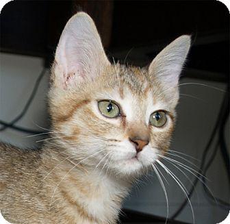 Domestic Mediumhair Kitten for adoption in Parkville, Missouri - Penelope (Penny)