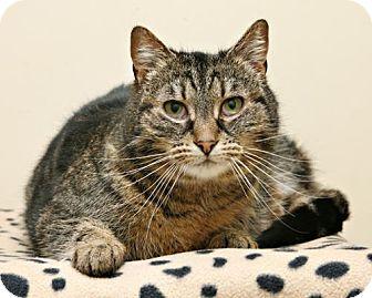 Domestic Shorthair Cat for adoption in Bellingham, Washington - Bonne Bell