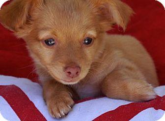 Pomeranian/Spaniel (Unknown Type) Mix Puppy for adoption in La Habra Heights, California - Kenton