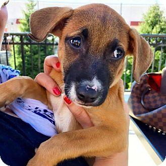 German Shepherd Dog/Hound (Unknown Type) Mix Puppy for adoption in Franklinville, New Jersey - Lita
