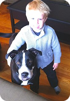 American Staffordshire Terrier/Border Collie Mix Dog for adoption in Ijamsville, Maryland - Lucky Boy