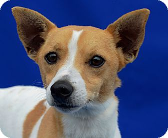 Jack Russell Terrier/Terrier (Unknown Type, Small) Mix Dog for adoption in LAFAYETTE, Louisiana - SIMON