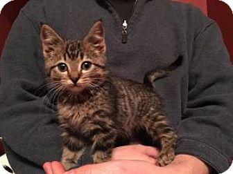 Domestic Mediumhair Kitten for adoption in Chicago, Illinois - Pepito