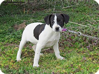 Australian Cattle Dog/Terrier (Unknown Type, Small) Mix Puppy for adoption in Newburgh, New York - AIMEE
