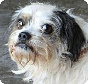 Shih Tzu/Havanese Mix Dog for adoption in Oswego, Illinois - I'M ADOPTED Lil Rascal Barr