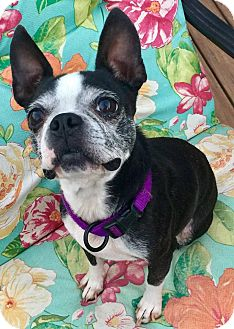 Boston Terrier Dog for adoption in Atlanta, Georgia - Sadie-Paige - ADOPTION PENDING