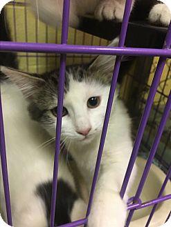 Domestic Mediumhair Kitten for adoption in Richboro, Pennsylvania - Rolly