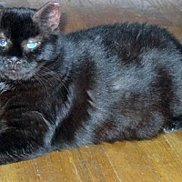 Bombay Cat for adoption in Brooklyn, New York - Bear: Big Shy Boy