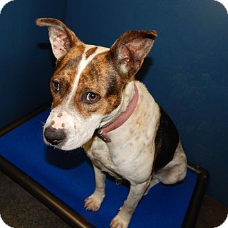 Hound (Unknown Type) Mix Dog for adoption in Henderson, North Carolina - Jenny