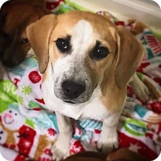 Labrador Retriever/Beagle Mix Puppy for adoption in Rosemount, Minnesota - Rosemary